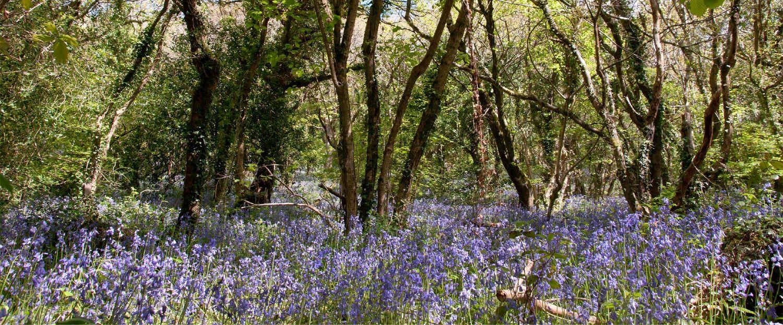 Bluebells at Galowras